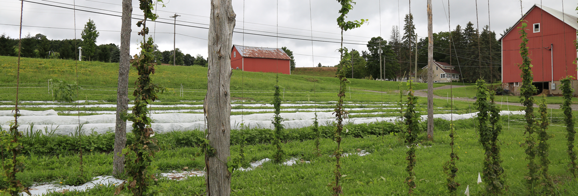 Crops growing with red barns in the background.