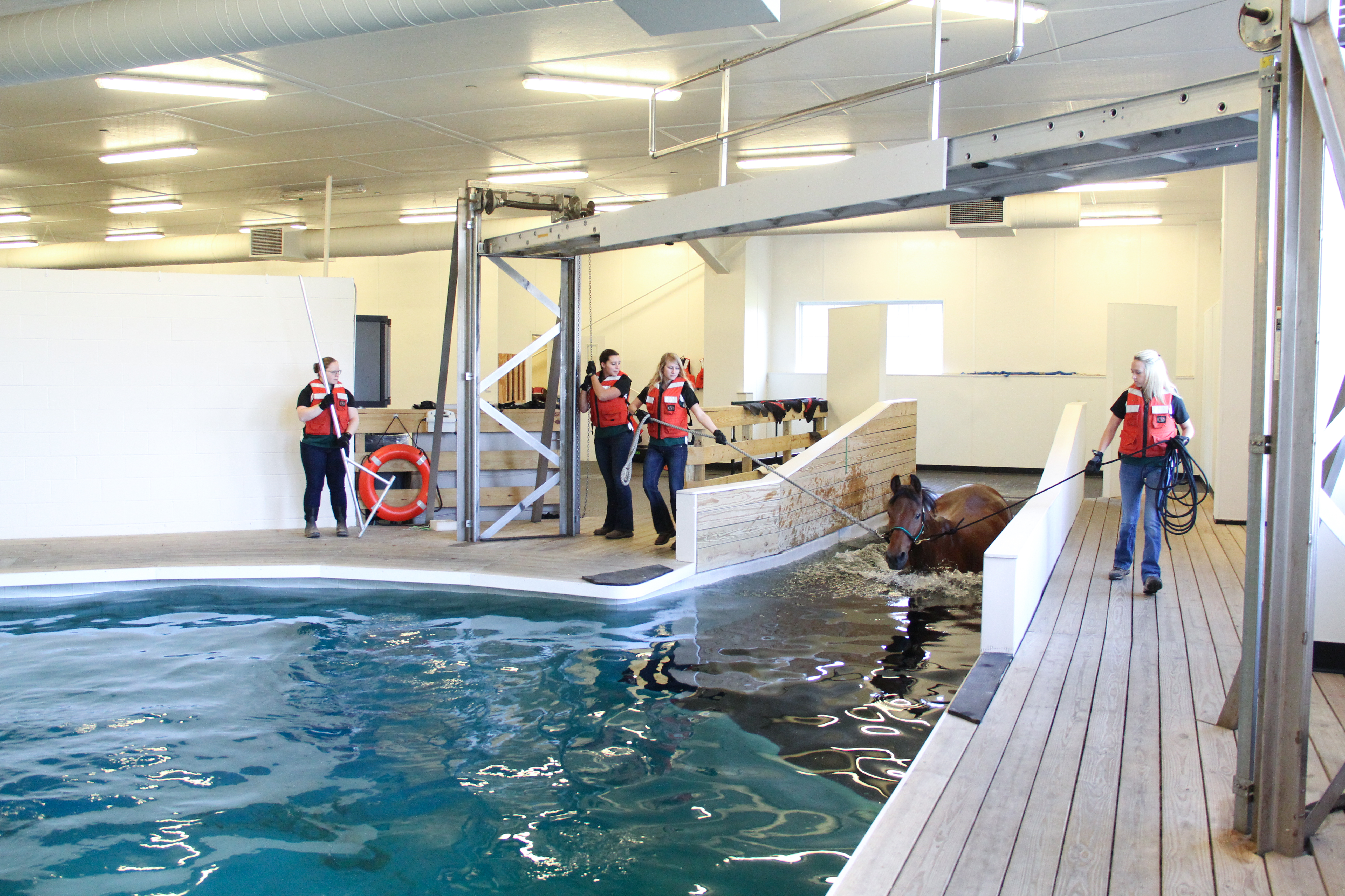 Students in the Equine Rehabilitation and Therapy program swimming a horse