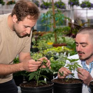 Instructional support assistant Howard Rice treat the cannabis plants with the same care and oversight.