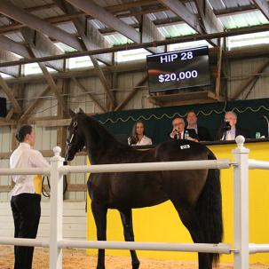 A student handling a horse at the Standardbred yearling sale
